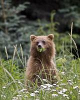 Alaskan Brown Bear Cub by Glen Cheriton: Award winning photo taken by a participant on one of our 2008 safaris