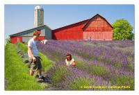Organic Farmers Harvest Lavendar in Northern Michigan