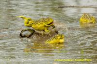 African Bullfrogs Fighting for Mates