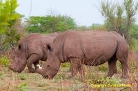 Zambian Black Rhinos