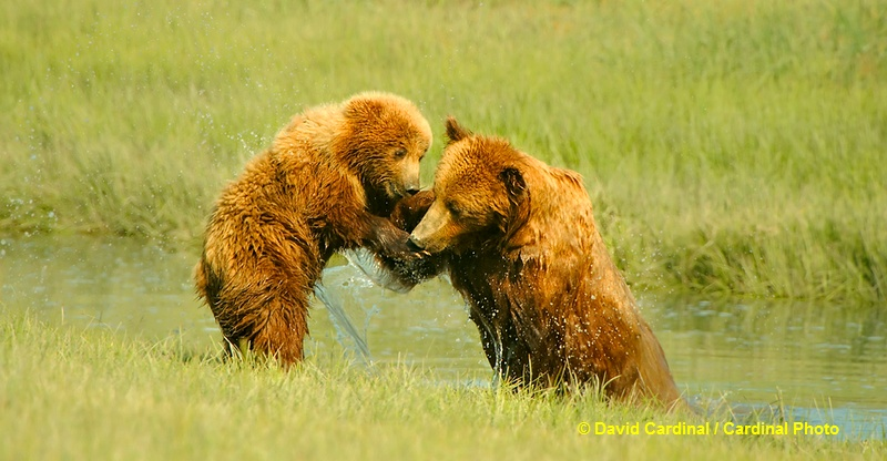 Bears playfully wrestling is always a trip highlight. These youngsters are practicing dominance-play to help determine which of them will be the dominant one as they get larger.