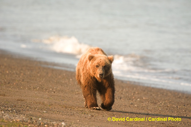 Brown Bears often prowl along the shore as the tide recedes looking for anything edible or interesting that has washed up.
