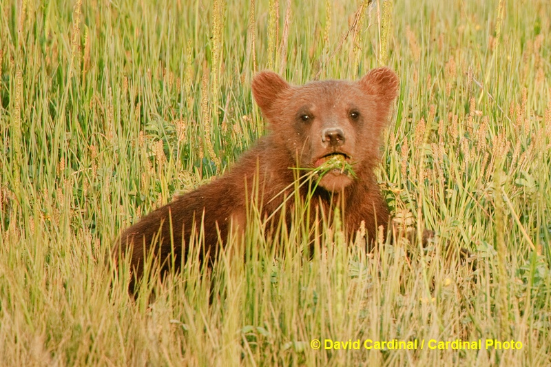 Spring cubs like this one get most of their nutrition by nursing but even at this age they work on grazing like their mothers
