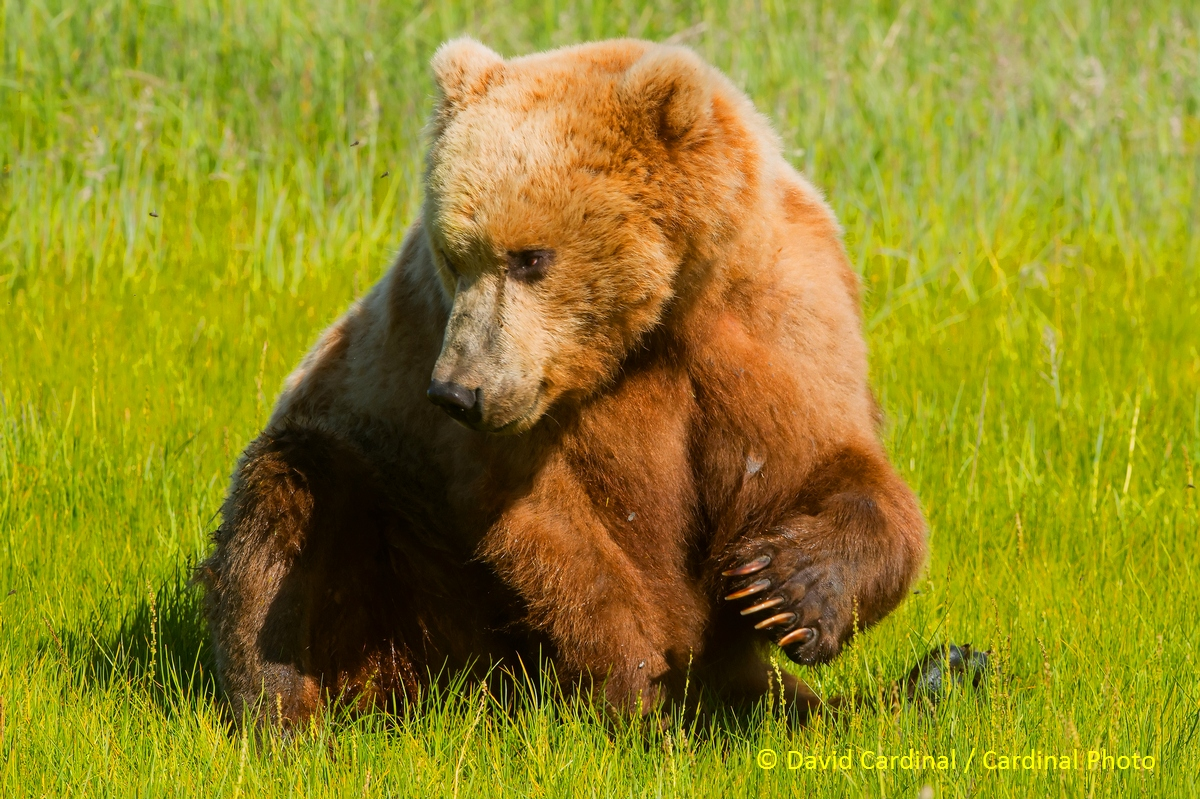 Once acclimated, bears mostly ignore people -- as long as they respect the bears and give them plenty of room. This bear is taking a break from grazing to do some heavy-duty scratching.
