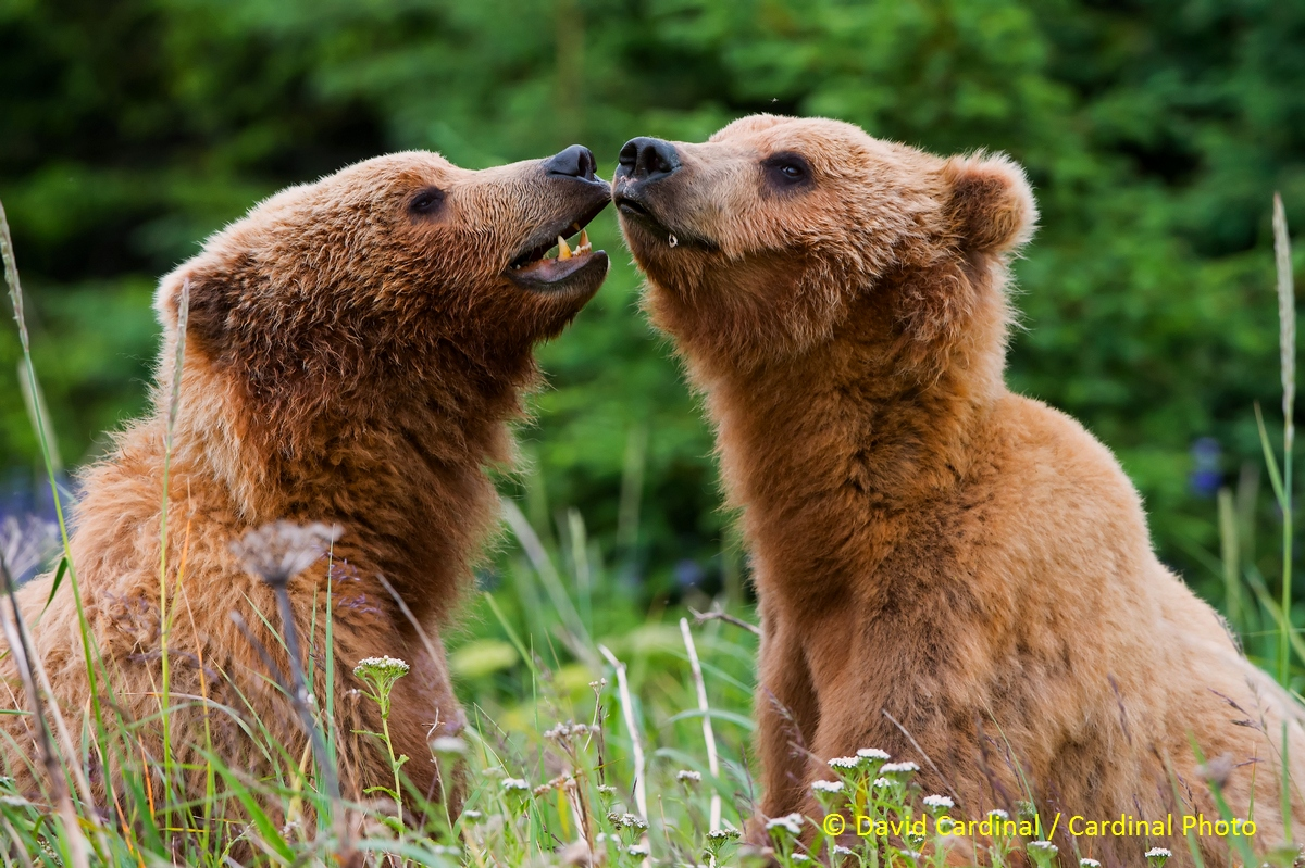 Friendly interactions between adult bears are infrequent, but these bears are probably siblings who still spend time together.