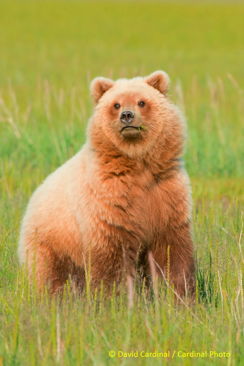 Young Alaskan brown bear curious about whether another bear is in the area
