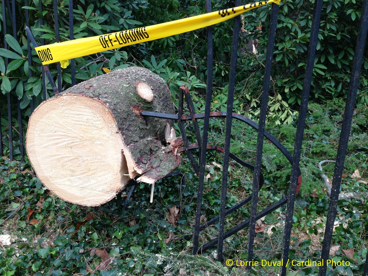 The danger of falling trees is graphically illustrated by the tines of this iron fence -- some of which were snapped and others went through the tree like spears.