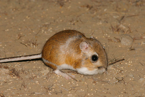 Species Description - Giant Kangaroo rat